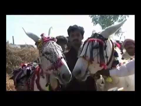 Punjabi toty  gadhon ki sale start
