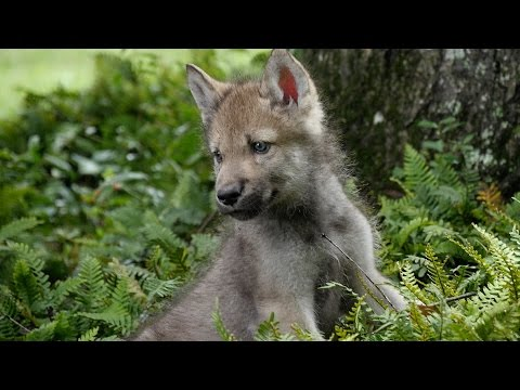 Cute Baby Wolf Pups Go Outside For the First Time