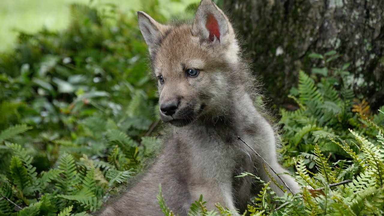 Cute Baby Wolf Pups Go Outside For the First Time - phim22.com