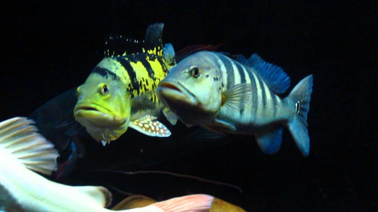 Kelberi peacock bass - photo#7