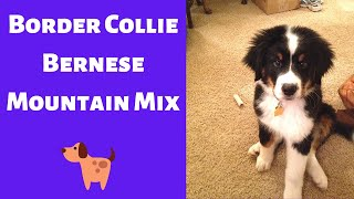 All about the Border Collie Bernese Mountain Mix (Bordernese)   Is this mixbreed a family dog?