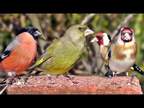 Garden Birds Videos For Cats and People To Watch - Goldfinch, Greenfinch, Bullfinch, Robin and More