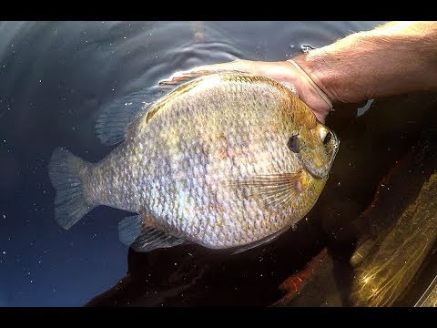 Fishing For TWO POUND PLUS BLUEGILLS!