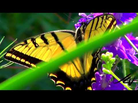Western Tiger Swallowtail Butterfly    -  YouTube