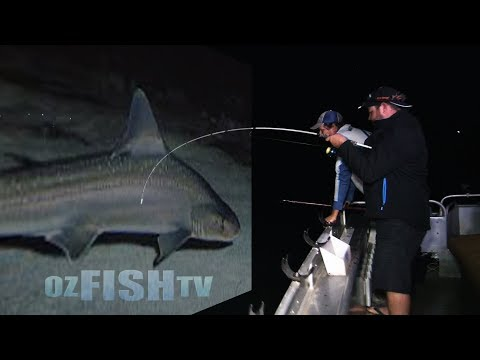 Oz Fish TV - Gummy Sharks in Westernport