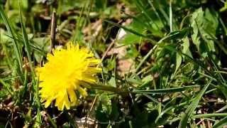 essbare Pflanzen: Ampfer, Klee und Löwenzahn