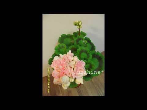 Pelargonium Rosebud Denise (2012) 로즈버드 데니스