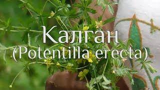 Калган. Potentilla erecta