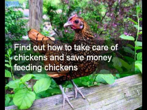 Urban farming with chickens | holistic urban farming with chicken manure & composting & worm farms