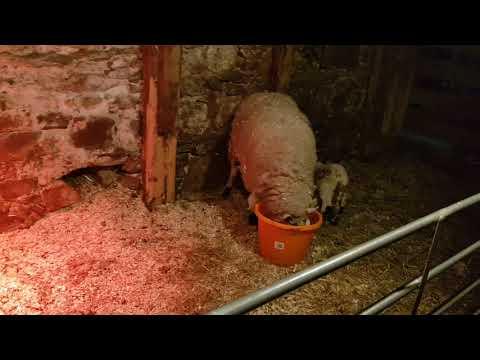 Short: Sick lamb and mum need treatment