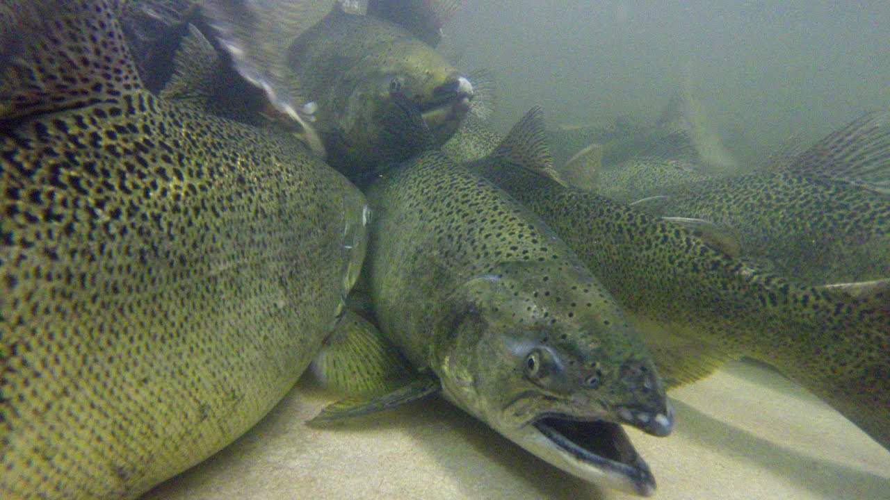 Salmon update youtube for Nd game and fish stocking report