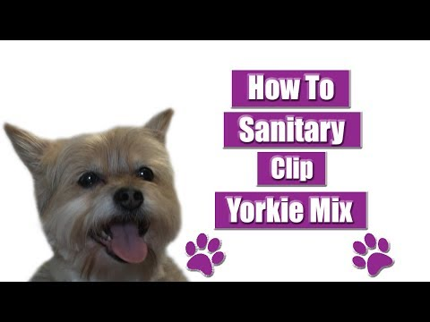 How To Sanitary Clip A Yorkie Mix