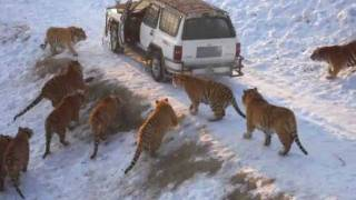 Download Harbin Tiger Park (tiger leaps 20 feet for pheasant) Mp3 and Videos