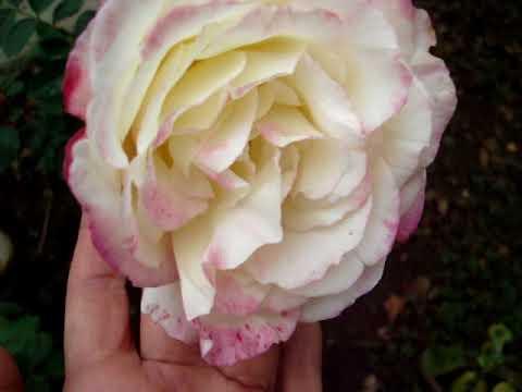 Сорт розы Дабл Делайт в октябре