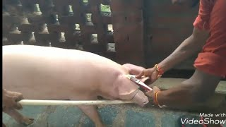 Ear Tagging of pigs