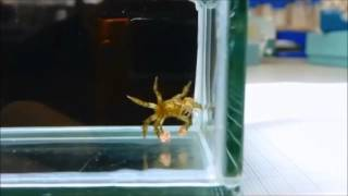 Краб пом-пом боксирует, схватив клешнями анемоны