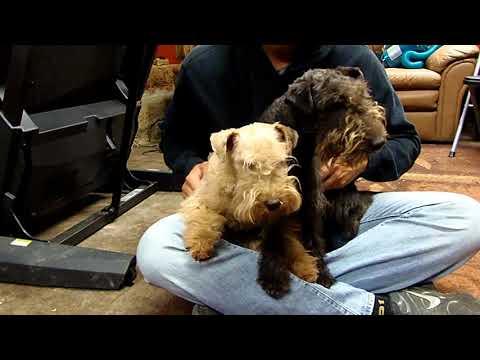 Oscar & Octavia OUR NEW LAKELAND TERRIERS!!