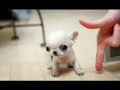 фото самые маленькие собаки в мире