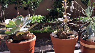 Suculentas – Mudança de Clima Adubação e Replante