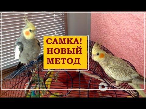 Метод Гарика. Новый способ КАК ОПРЕДЕЛИТЬ ПОЛ у птенца попугая кореллы
