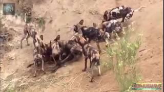 Amazing Wild Dogs Eat Warthog and Pregnant Gazelle