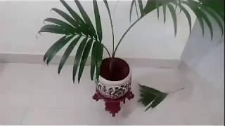 Areca palm - care