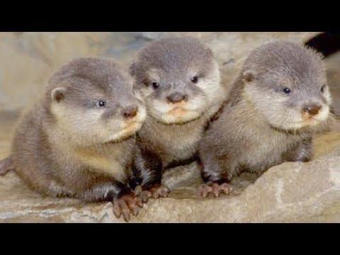 Wildlife At Risk: Baby River Otters | Câu Chuyện Nuôi Rái Cá Con Bất Đắc Dĩ