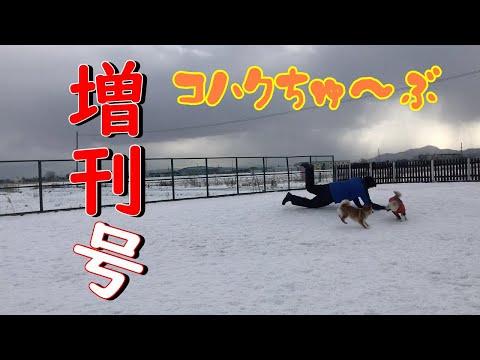 元保護犬と柴犬がドッグランで走る姿を眺める動画【ドッグラン札幌 コミュニティパーク】