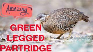 Green Legged Partridge   animais selvagens