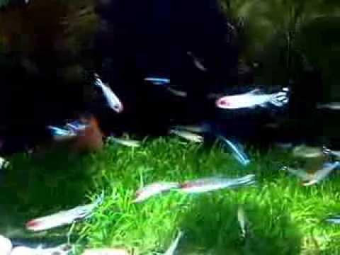 Ikan Red Nose Dan Ikan Neon Yang Indah Youtube