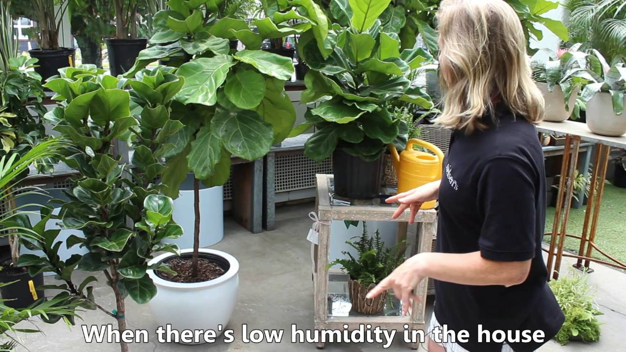 How To Care For Your Fiddle Leaf Fig Plant Or Ficus Lyrata