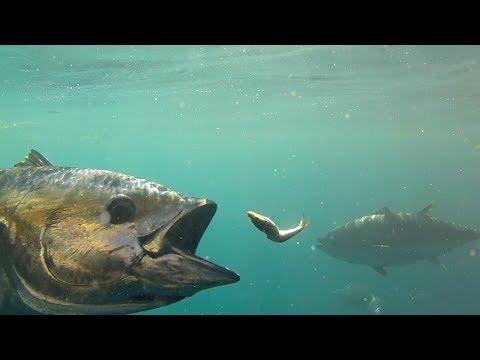 Feeding Bluefin Tuna In HD