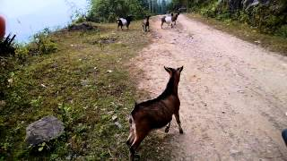Miniature Pinscher Vs Goat  / Honda Lead 125