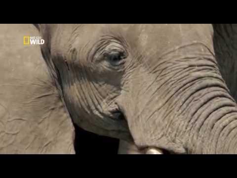 Слон плачет