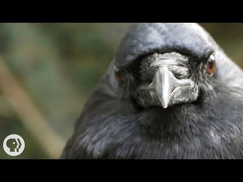 You've Heard of a Murder of Crows. How About a Crow Funeral?  Deep Look