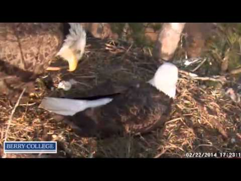 Berrys Eagles,Standoff between Mom & Dad Berry? You be the judge,34min video lol,2/22/14