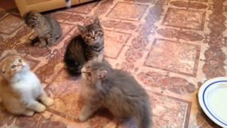 Питомник британских и шотландских кошек Cat's Perfection