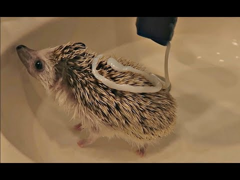 My Hedgehog Gets A Bath