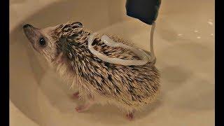 My Hedgehog Gets A Bath