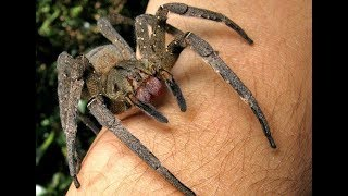 Top 10 Most Dangerous Spiders in the world 2018 | Top 10 Worlds