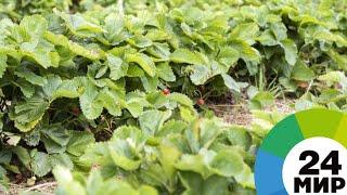«Зеленые» технологии: в Армении развивают органическое сельское хозяйство - МИР 24