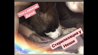 Стерилизация кошки/Опухоль у крысы Дуси