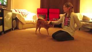 Awesome Dog Tricks by Kimma the Finnish Spitz
