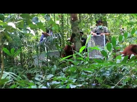 """Video: """"Rumah Baru"""" Orangutan di Kalimantan Barat"""