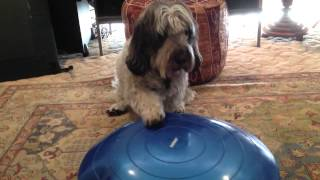 Dog Fitpaws Pilates With Larry The Pbgv