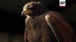 Hawks keep London's pigeons in line