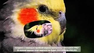 Laam Petite Soeur-картинки про попугаев.