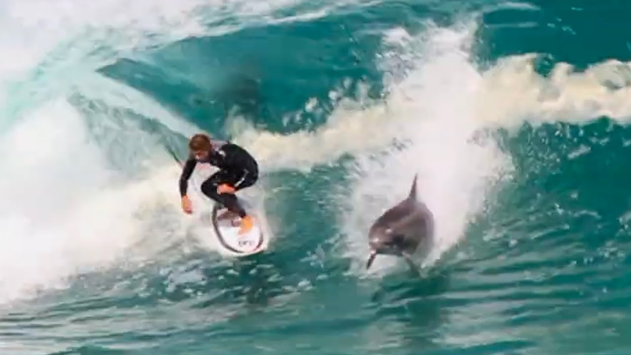 Dolphins Are Attacking Surfers