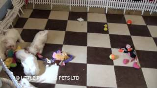 Little Rascals Uk Breeders New Litter Of Malshis - Puppies For Sale UK