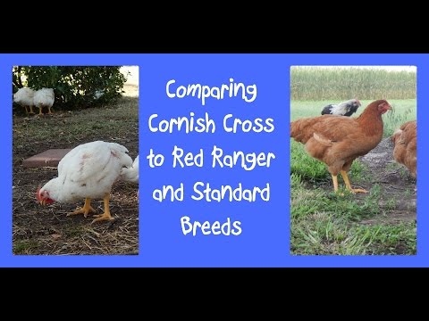 Comparing Cornish Cross to Red Ranger and Standard Breeds